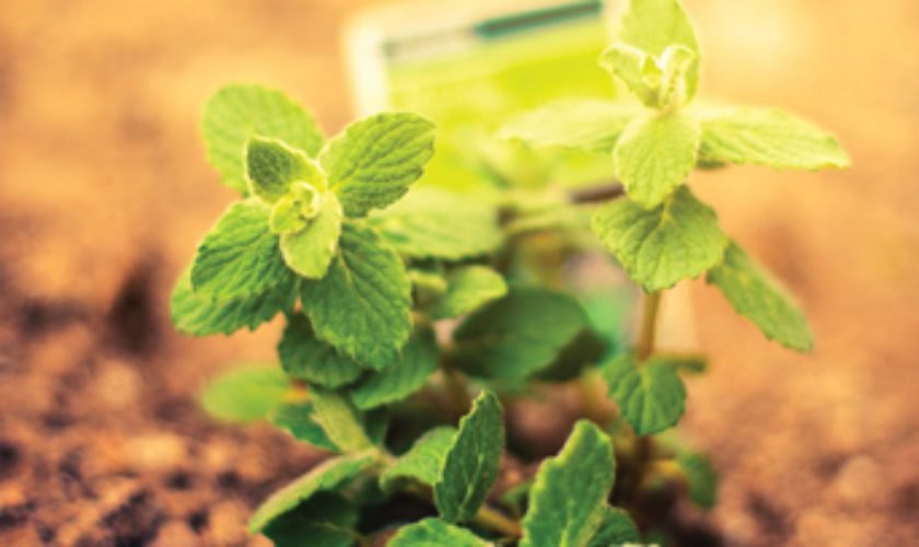 Cooking and Growing Fresh Mint