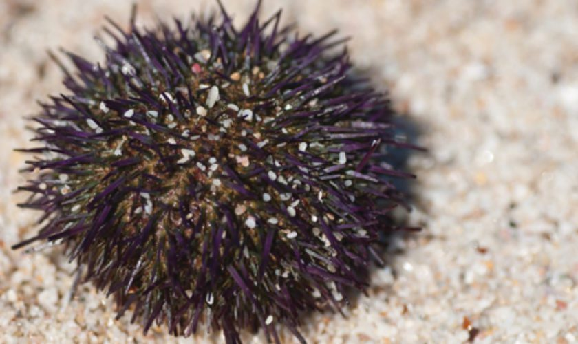 Summer Hazards – Stepping on a Sea Urchin