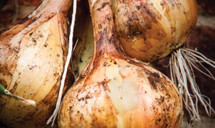 Bermuda Onions!