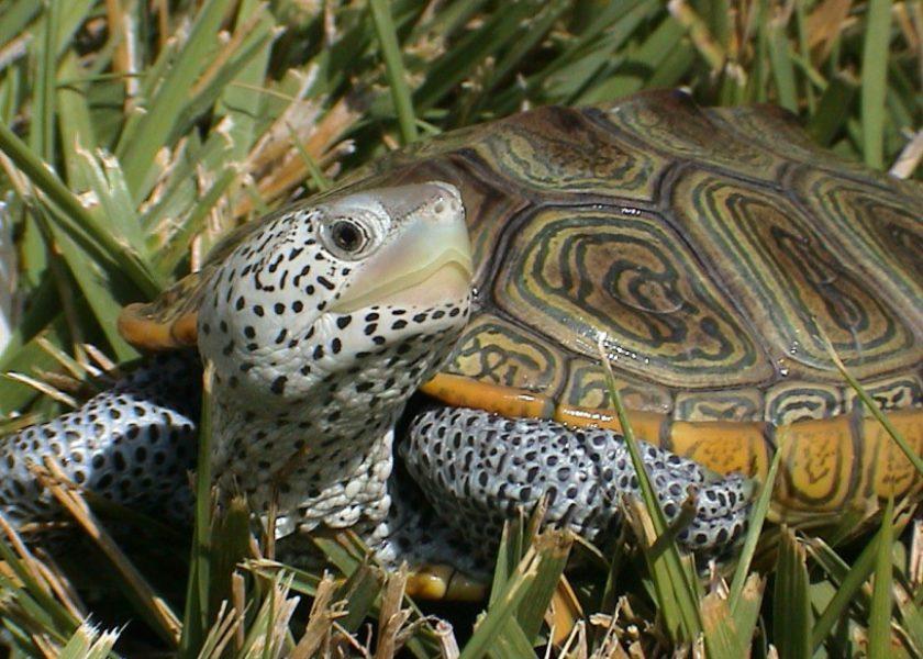 Wildlife 101: Diamondback Terrapins with Dr. Mark Outerbridge