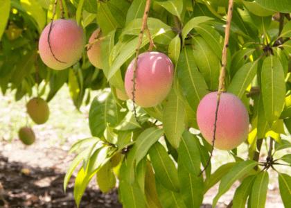 Fresh Picked: Growing Fruit Trees in Bermuda