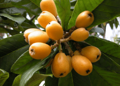 For The Love of Loquats!