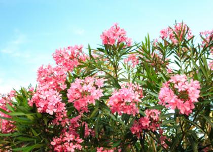 Field Notes: Oleander