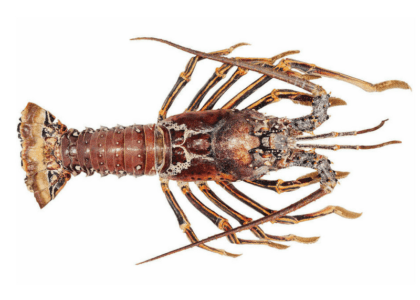 Spiny & Guinea Chick: Know Your Bermuda Lobster