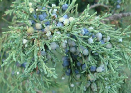 Field Notes: The Bermuda Cedar
