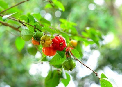 Field Notes: The Surinam Cherry