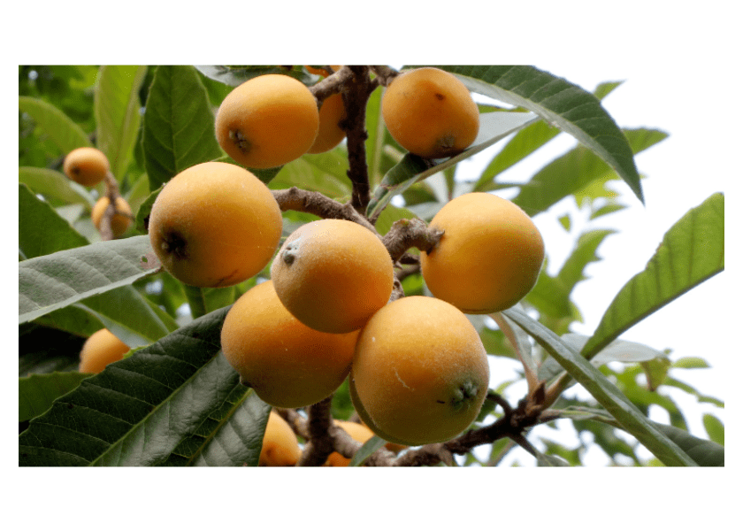 Field Notes: The Loquat