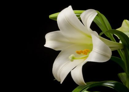 Field Notes: The Bermuda Easter Lily
