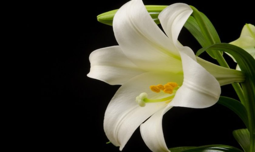 Field Notes: The Bermuda Easter Lily - The Bermudian Magazine
