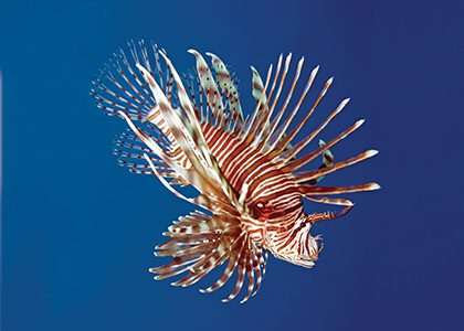 Bermuda Beasts: 7 Facts About Lionfish