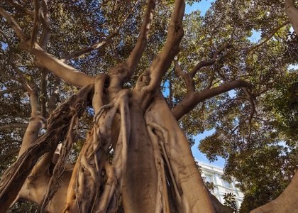 Field Notes: The India-Rubber Tree