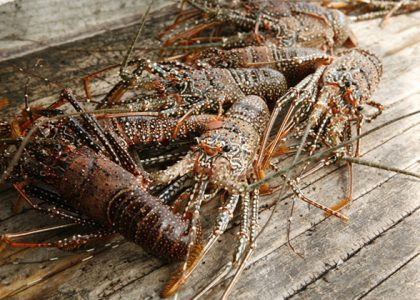 It's Spinally Here: Lobster Season!