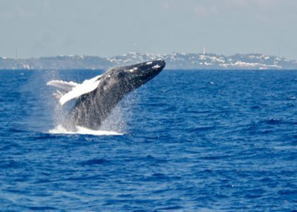 Whale Watching in Bermuda