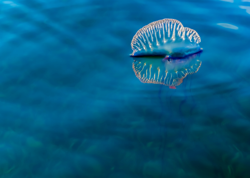 How to Treat a Portuguese Man-of-War Sting - The Bermudian ...