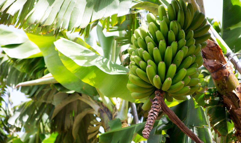 Field Notes: The Canary or Cavendish Banana