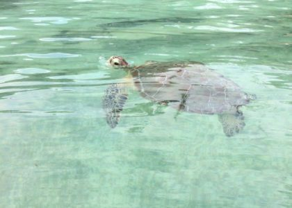 Bermuda Beasts: Ten Facts About Green Turtles