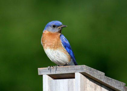 Make Your Own Bluebird Box!