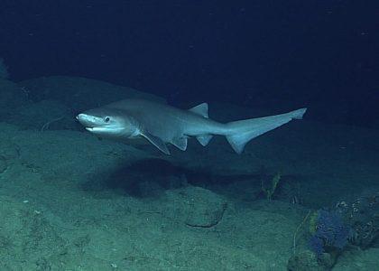 Bermuda Beasts: The Sixgill Shark