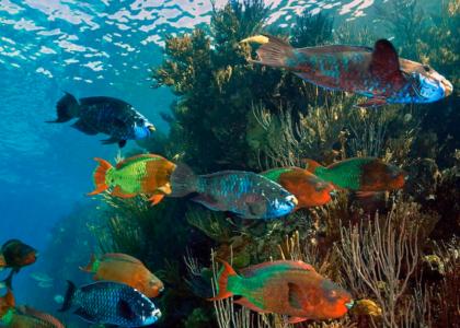 Bermuda Beasts: Parrotfish