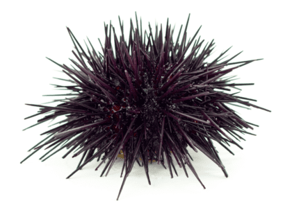 Bermuda Beasts: 8 Facts About The Purple Sea Urchin