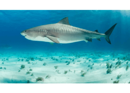 Bermuda Beasts: Tiger Sharks