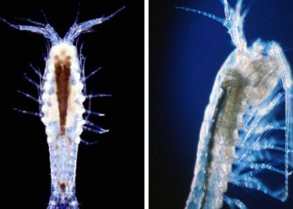 Bermuda Beasts: 6 Facts About The Bermuda Cave Shrimp