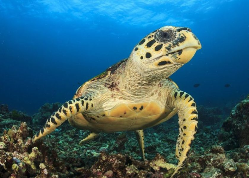 Bermuda Beasts: Hawksbill Turtle