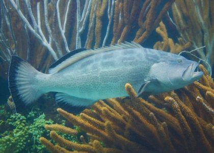 Bermuda Beasts: Black Grouper