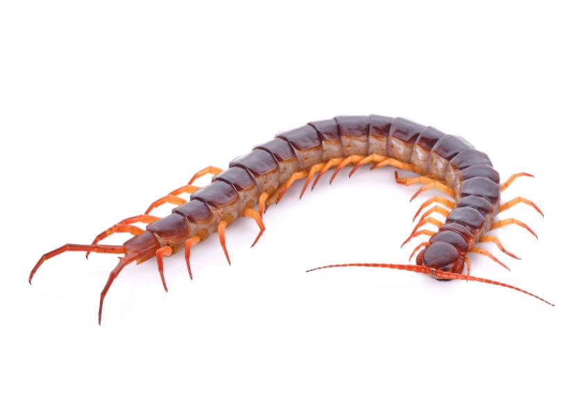 Bermuda Beasts: The Centipede