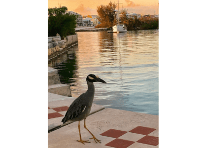 Bermuda Beasts: Yellow Crowned Night Heron