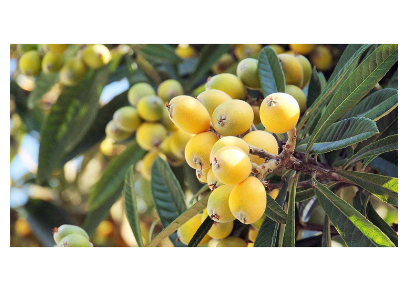 When is the Best Time to Pick Loquats?