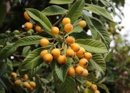 Loquats: The Good Fruit