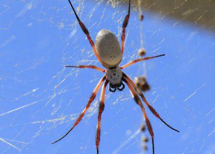Bermuda Beasts: The Hurricane Spider