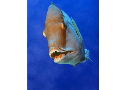 Bermuda Beasts: Hogfish
