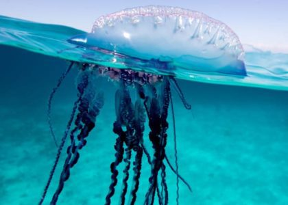 Bermuda Beasts: 7 Facts About The Portuguese Man O' War