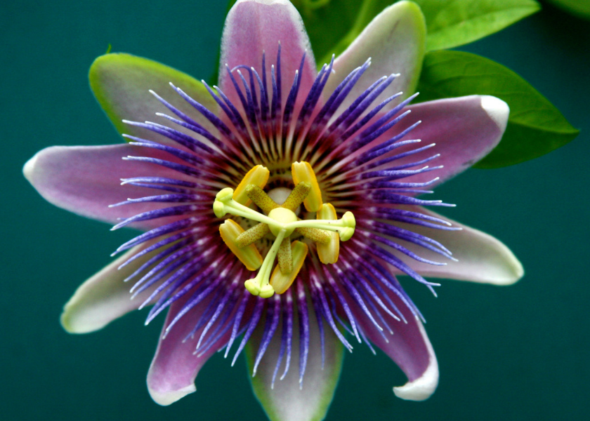 Field Notes: The Passion Flower