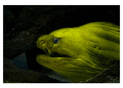 Bermuda Beasts: Green Moray Eel