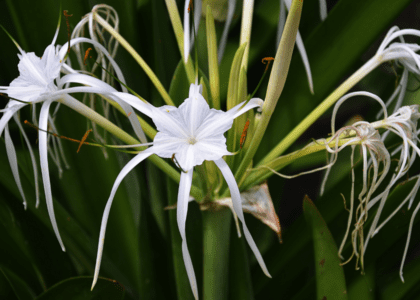 Field Notes: Spider Lily