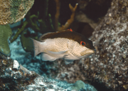 Bermuda Beasts: Coney Fish