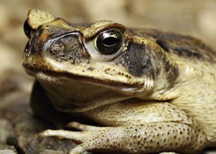 Bermuda Beasts: Toads