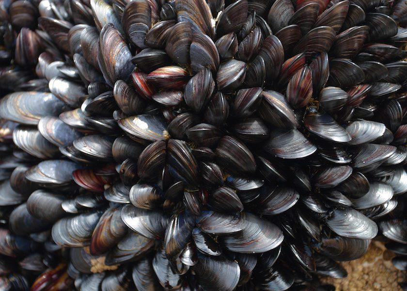 Bermuda Beasts: Burrowing Mussel