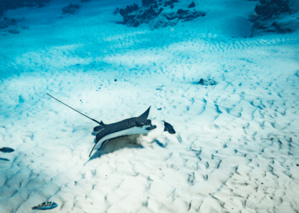 Bermuda Beasts: Spotted Eagle Rays