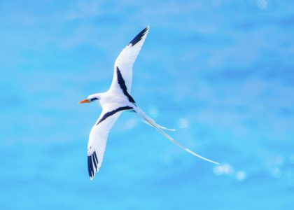 The Bermuda Longtail: Life in Flight