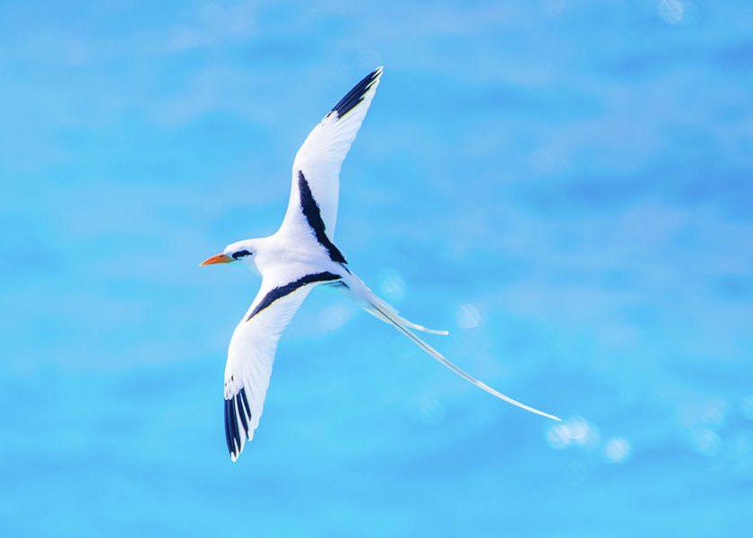 The Bermuda Longtail: Life in Flight