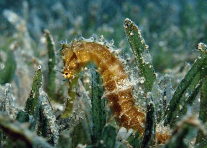 Bermuda Beasts: The Seahorse