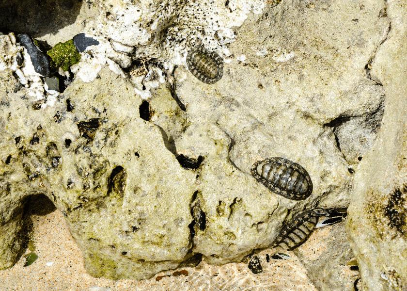 Bermuda Beasts: Chiton