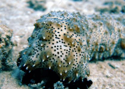 Bermuda Beasts: Sea Cucumber