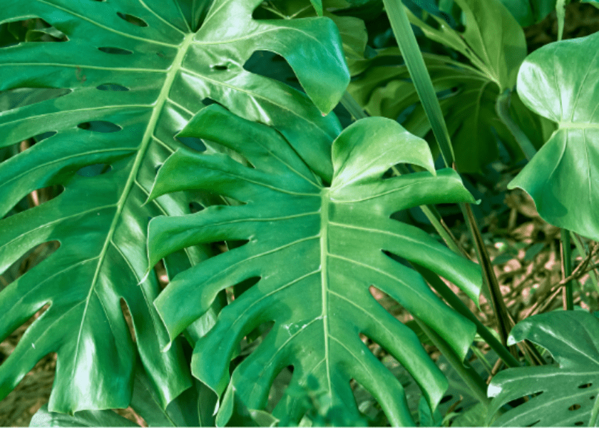 Field Notes: Monstera Deliciosa