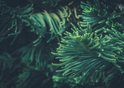 Field Notes: Norfolk Island Pine