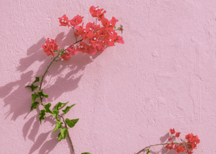 Field Notes: The Bougainvillea